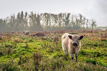 Beige kleurige Galloway koe met donkerbruine oren kijkt nieuwsgierig naar de fotograaf van Ruud Morijn