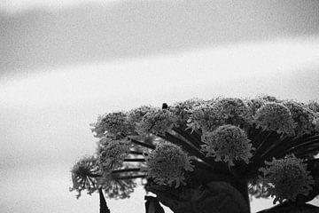 zwart wit berenklauw von Danielle Vd wegen
