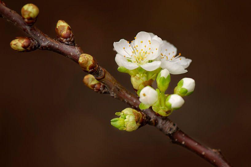 Tak perenbloesem van Maren Oude Essink