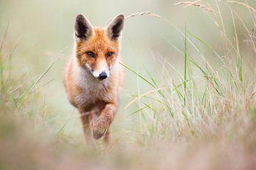 red fox von