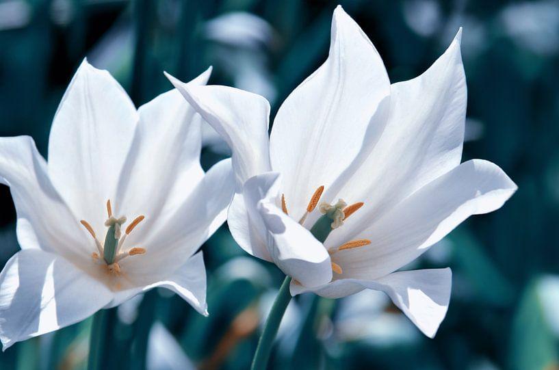 Tulpen  van Violetta Honkisz