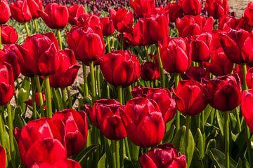 Rode Tulpen Beeldvullend van Brian Morgan