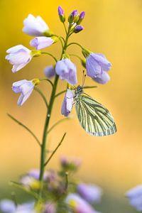 Vlinder op Pinksterbloem van
