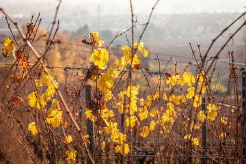 Herbstliche Weinberge bei Schloss Vollrads van Christian Müringer