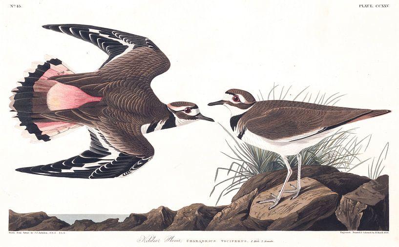Killdeerplevier van Birds of America