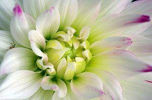 Dahlia, bloemen macrofotografie