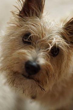 Norwich terrier van Sandra Loermans-Borgman