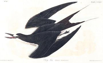 Rußseeschwalbe