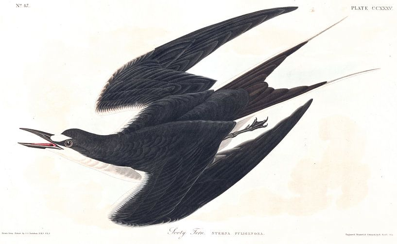 Bonte Stern van Birds of America