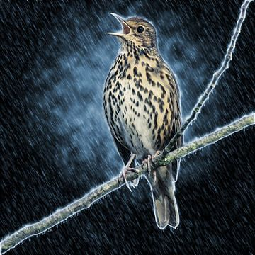 Zingende zanglijster in de regen van Fotografie Jeronimo