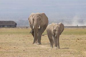 Afrika | Olifanten op de savanne - Afrika Kenia - Amboselli
