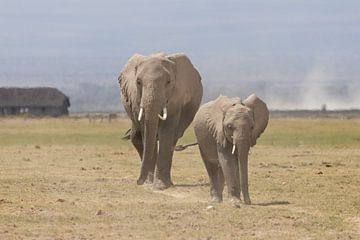 Afrika | Elefanten auf die Savanne  - Afrika Kenia Amboselli von Servan Ott