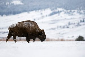 American Bison ( Bison bison ), walking through snow covered plains, Yellowstone Area, Montana, USA.