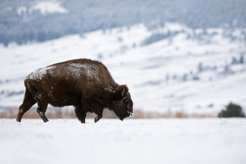 American Bison ( Bison bison ), walking through snow covered plains, Yellowstone Area, Montana, USA. van wunderbare Erde