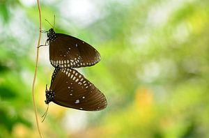 Twee Vlinders van