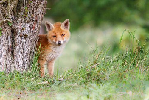 Cute red fox cub von Pim Leijen