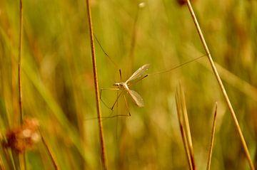 Langbeinige Mücke zwischen dem Gras von Ezra Middelburg