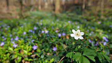 Nahaufnahme einer einzelnen weiß blühenden Blume (Buschwindröschen) in einem Wald im Kaiserstuhl von Timon Schneider