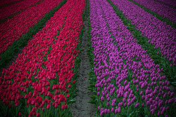 Paarse en rode tulpen van Patrick Verhoef
