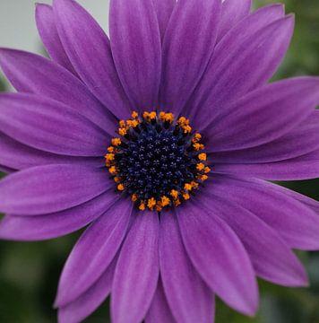 Close-up van een paarse gerbera van Anne van de Beek
