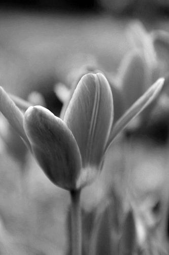 MAGIC FLOWER - BLACK AND WHITE