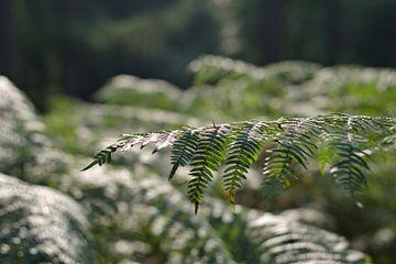 Mooie foto van varens (plant) van Hannah Kuijt