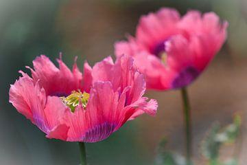 Roze papaver van Lily Ploeg