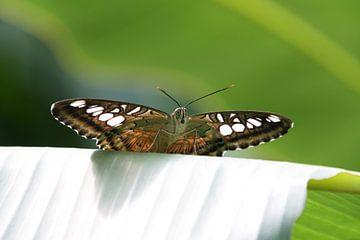 Spaans vlinderzicht van Lisette Tegelberg - Zegwaard