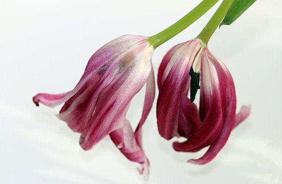 Tulpen verwelken van Rosi Lorz