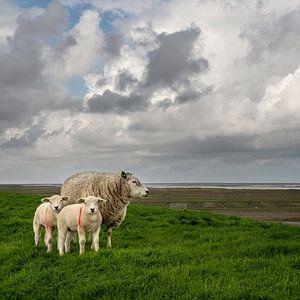 Schaapjes op de Waddendijk-vierkante versie van Bo Scheeringa