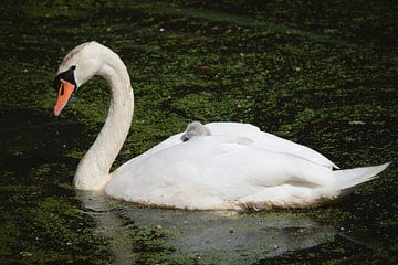 Schwan mit schlafendem Babyschwan auf dem Rücken von Steven Marinus