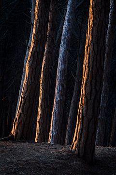 Blauwe en oranje stammen. van Rens Kromhout
