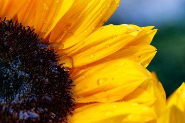 Zonnebloem in volle kleur met regendruppels van Jan Sportel Photography