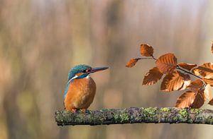 IJsvogel in de herfst