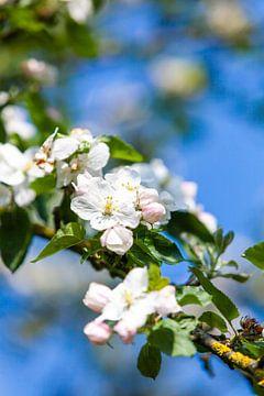 Appelbloesem in het voorjaar (lente) van Wim Demortier