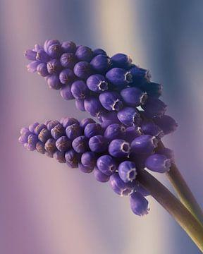 blaue Weintrauben von Saskia Schotanus