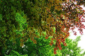 Beuken blader pracht van Marianne Kemmeren