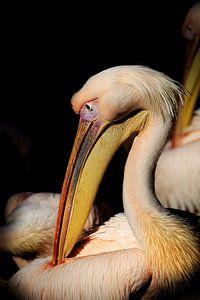 Pelican in the spot von Remco Bosshard