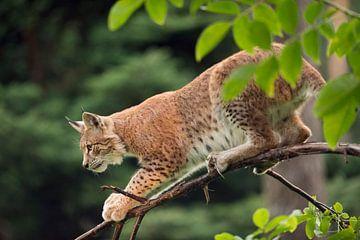 Luchs ( Lynx lynx ) jagt heimlich, still und leise von seinem Ansitz im Baum, Europa. von wunderbare Erde