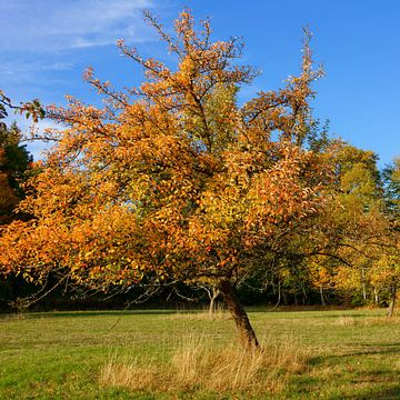 Herfstfruitboom op weide boomgaard van Gisela Scheffbuch