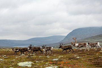 Rentiere in Femundsmarka Norwegen von Gijs de Kruijf