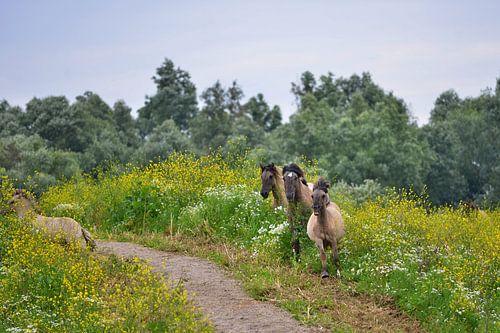 Konik paarden in Koolzaad van