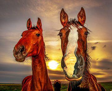 Twee paarden sur