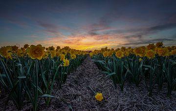 Narcissen bij Zonsondergang von Mario Calma