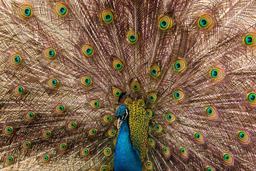 Pauw (vogel) van Gert Hilbink