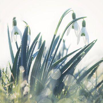 Schneeglöckchen mit Tautropfen von Karin de Jonge