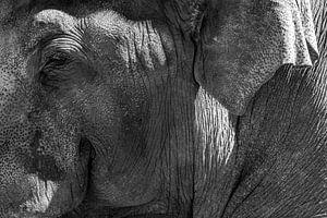 Aziatische olifant met grote witte slagtanden close up portret