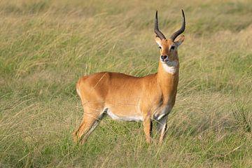 Oegandese grasantilope (Kobus thomasi) van Alexander Ludwig