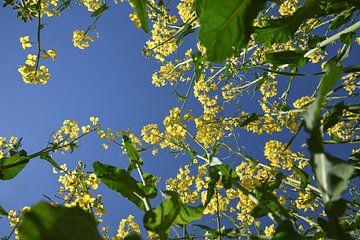 gele bloeiende koolzaadplanten van onderaf gezien tegen de helderblauwe hemel, geselecteerde focus,  van Maren Winter