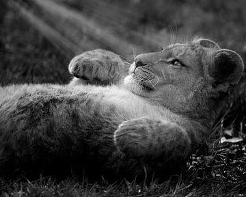 Sonnenlicht auf afrikanisches Löwenjunges von Patrick van Bakkum